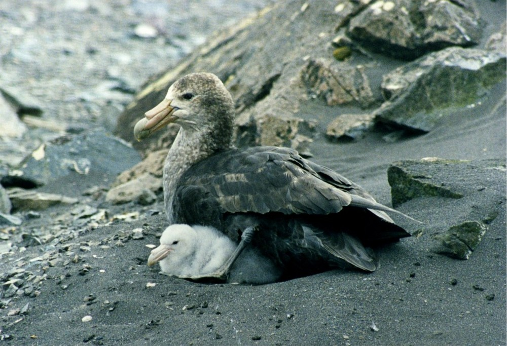 """Photo attribution:""""Giant petrel with chicks"""" by Brocken Inaglory"""