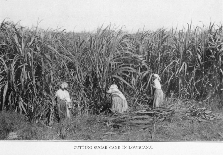 Cutting sugar cane in Louisiana. circa 1909-1913. From the New York Public Library