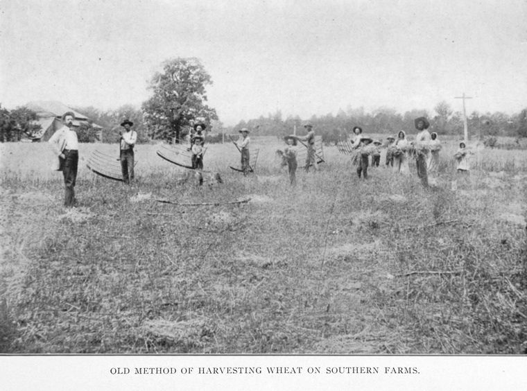 Old method of harvesting wheat on southern farms. circa 1909-1913. From the New York Public Library