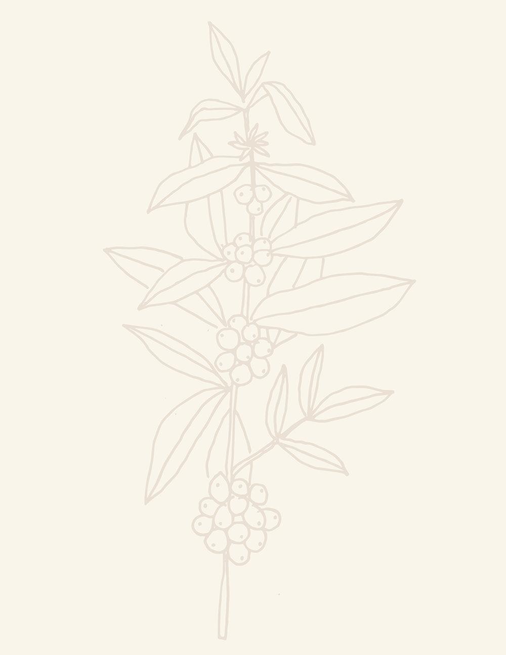 coffeeplant-01.jpg