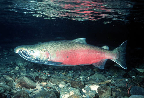 Pretty little sockeye salmon on a stroll