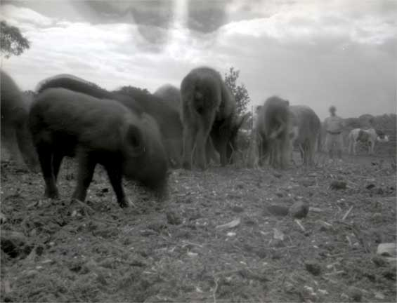 """Wild pigs, Wahiawa"""