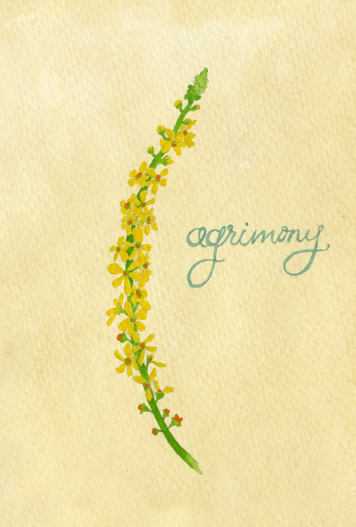 agrimony_b.jpg