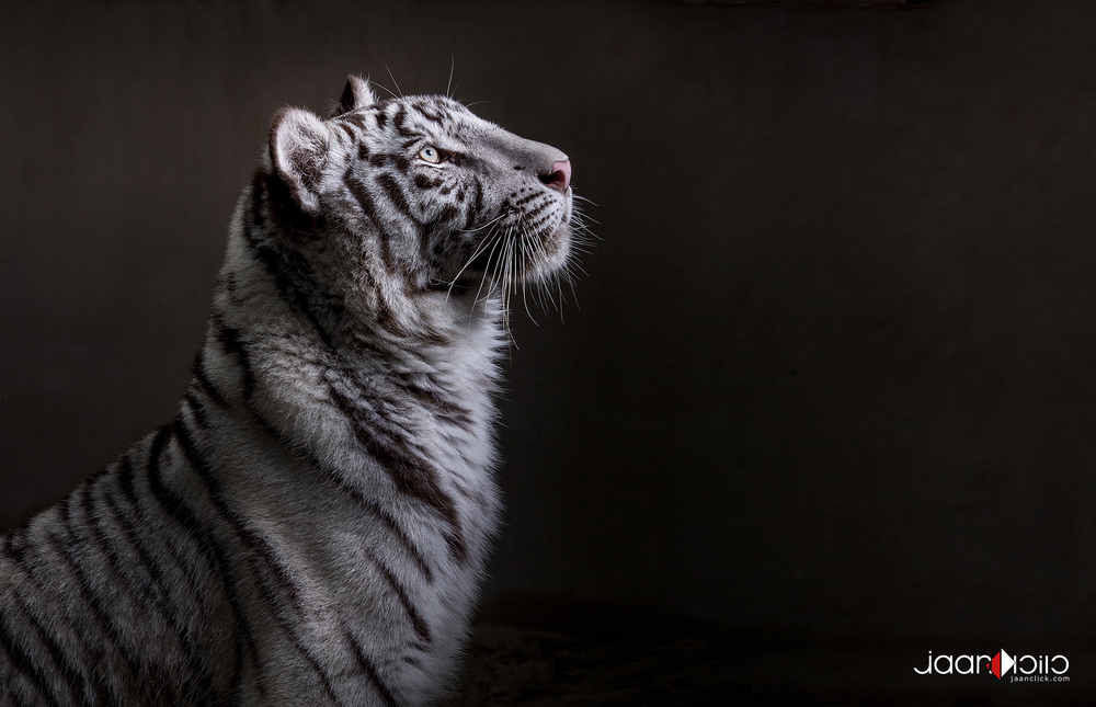 The White Tiger.jpg