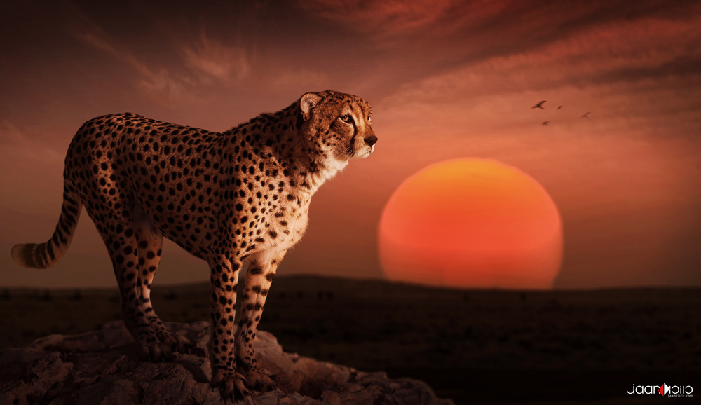cheetah sunset.jpg