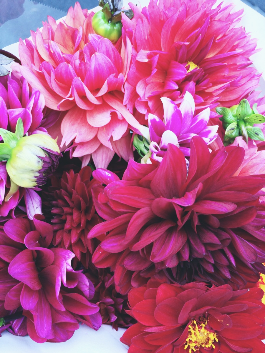 ruby red and burgundy dahlias
