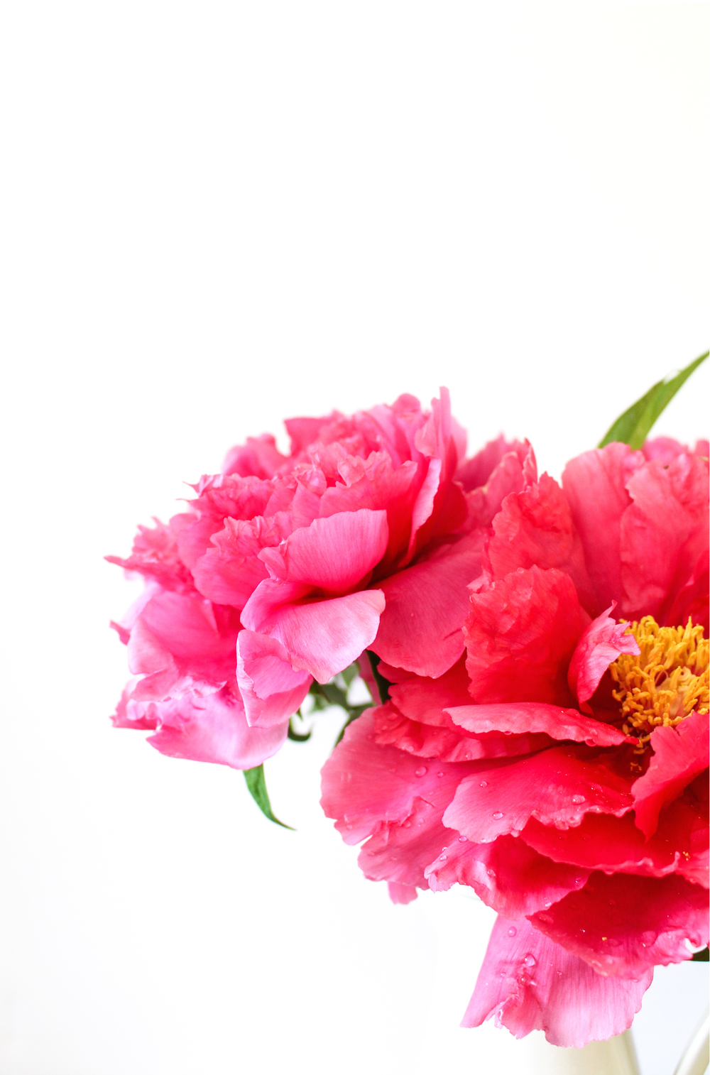 pink peonies - photo by kira semple