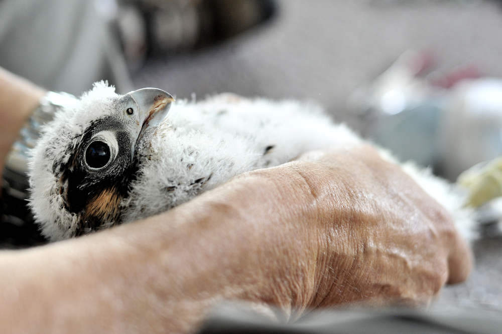 Caption/Description: A close-up of a nestling Peregrine falcon during the banding of the Peregrine falcons at the Callowhill building in Reading, PA, on May 25, 2016. (Reading Eagle: Sarah Stier)