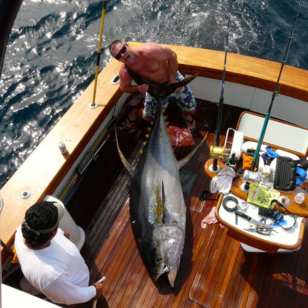"Nice Grade of Yellowfin Tuna Taken Aboard ""Tenacious"""