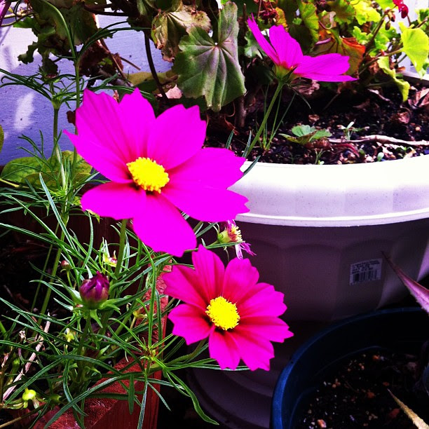 Cosmos. Merry Spinster garden.