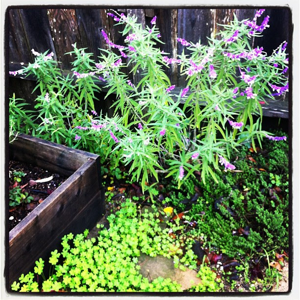 Mexican Sage. Merry Spinster garden.