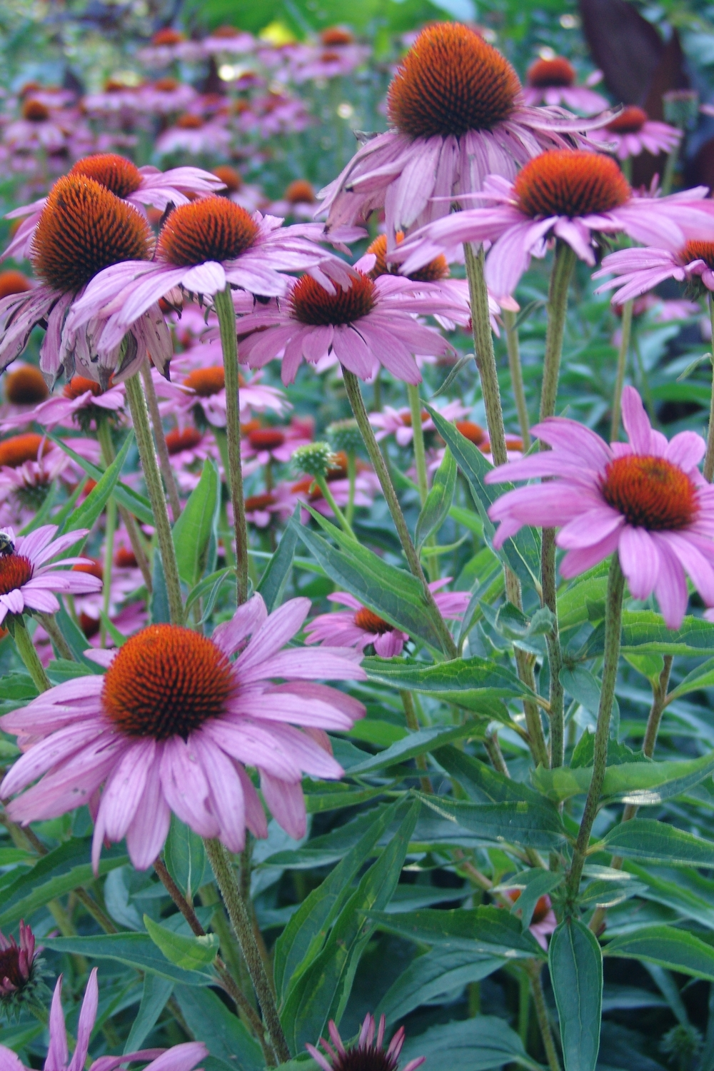 Echinacea. Photo credit The Scott Arboretum.