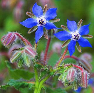 Borage. Photo credit backyard Diva.
