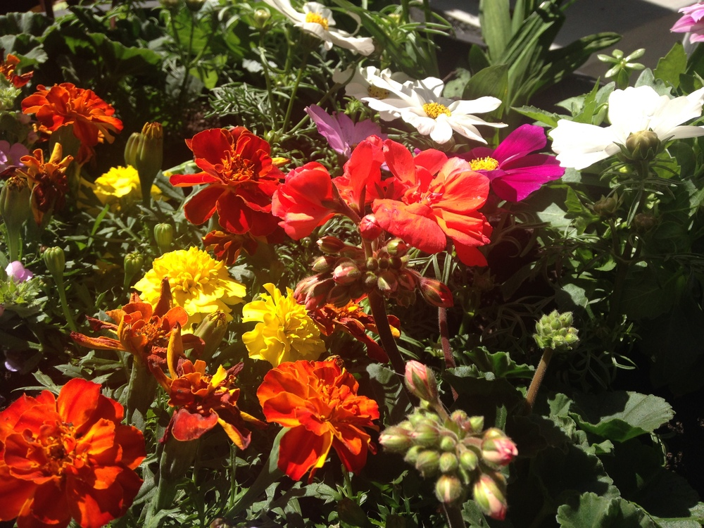 Marigold, Geranium, and Cosmos in my garden.