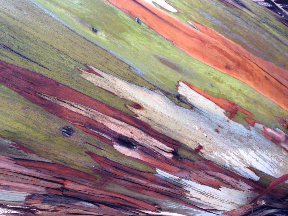 Bark of a Eucalyptus tree taken after the rain.
