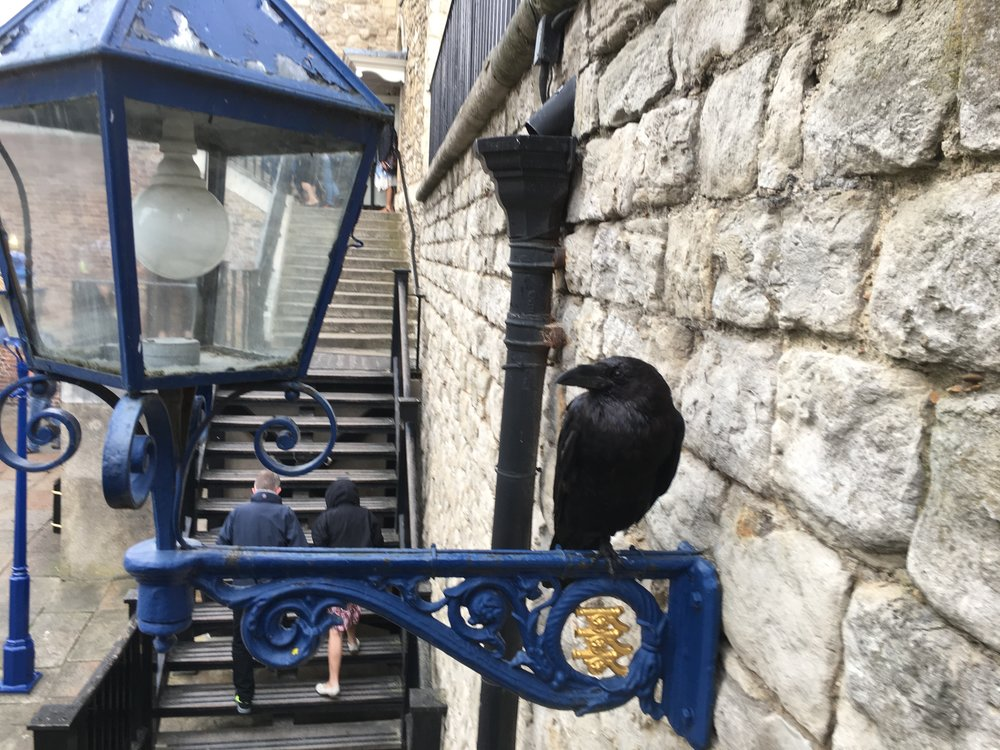 A beautiful Tower Raven agreeing to be photographed.