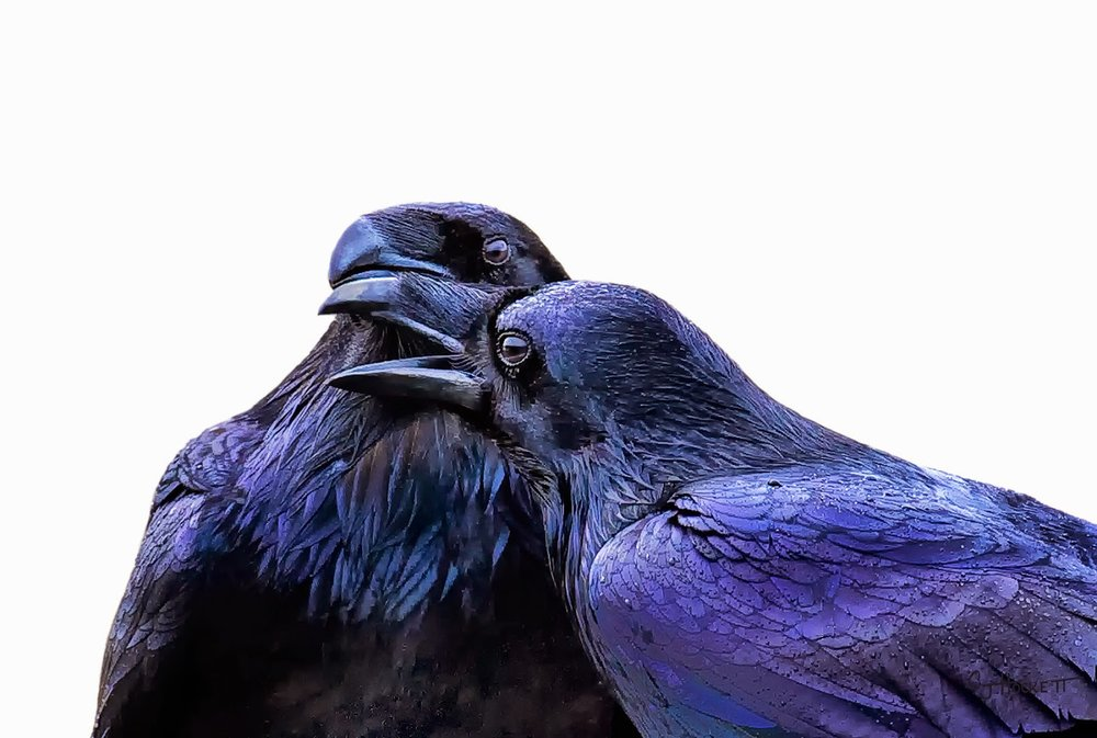 Raven Folklore The Merry Spinster
