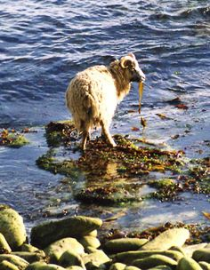 North Ronaldsay Sheep eating seaweed.