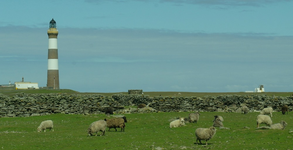 North Ronaldsay sheep, the wall and the lighthouse (which houses the mill) in the background.