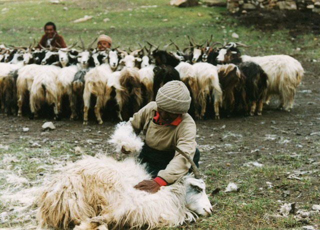 Plucking cashmere from a Changthang goat from Tibetan Archaeology Magazine.
