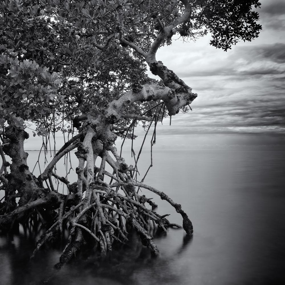"""Remnant Mangrove, Tampa Bay"" By Scott Bolendz"