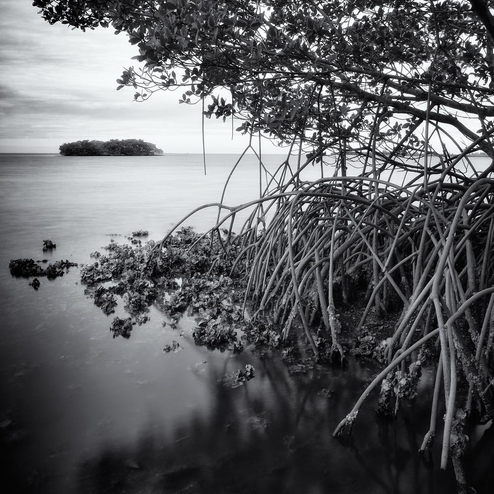 """Remnant Mangrove, Terra Ceia Bay"" By Scott Bolendz"