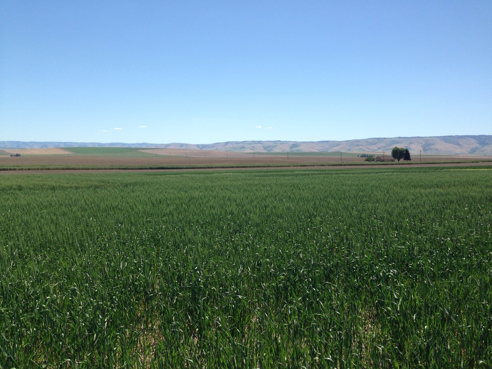 Young Winter wheat at the base of th blue mountains north of pendleton or