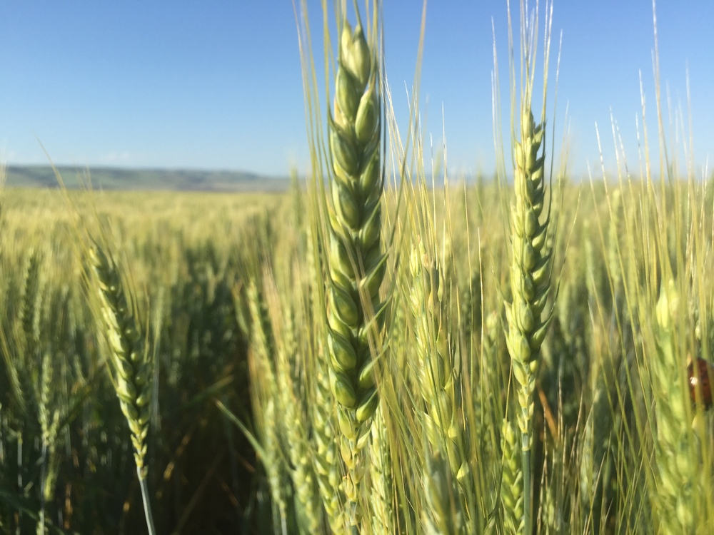 Wheat starting to turn. Can you find the ladybug photo bomb?