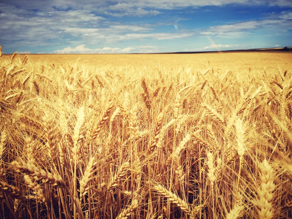 Wheat before harvest near moonshine creek. Not kidding..