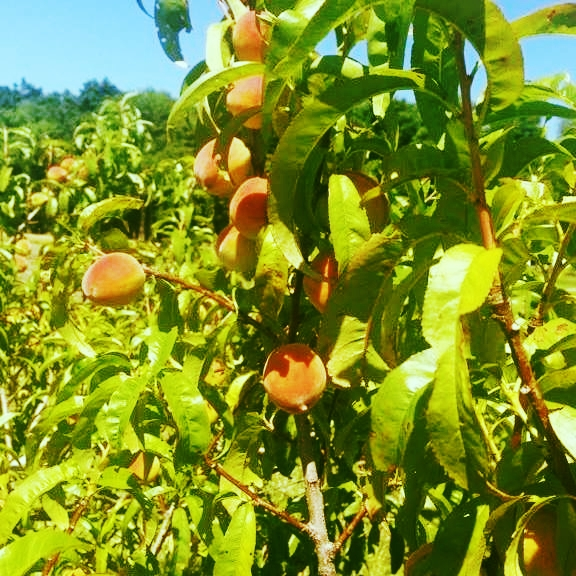 Peaches, orchard, pick your own, u-pick, family farm, farm, Clinton County