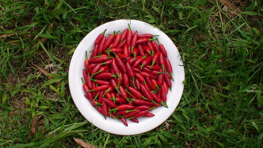 Photo Credit: Birds eye Chilli by  Stephan Ridgway ,  License
