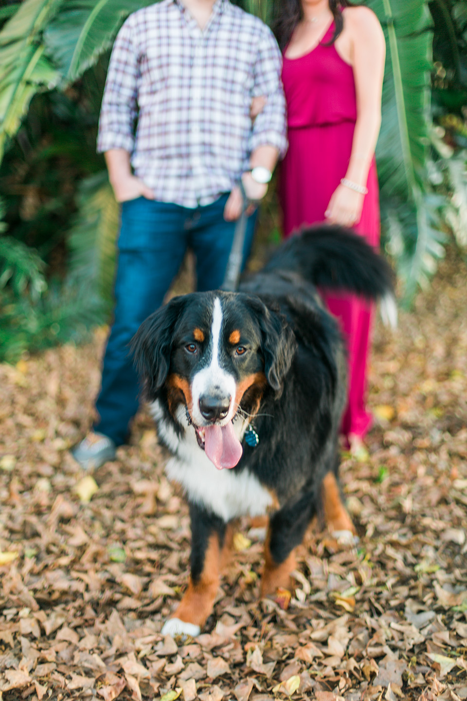 Picture of a Bernese Mountain Dog running towards the camera with his tongue out.  An engaged couple is in the background in downtown Orlando, Florida.