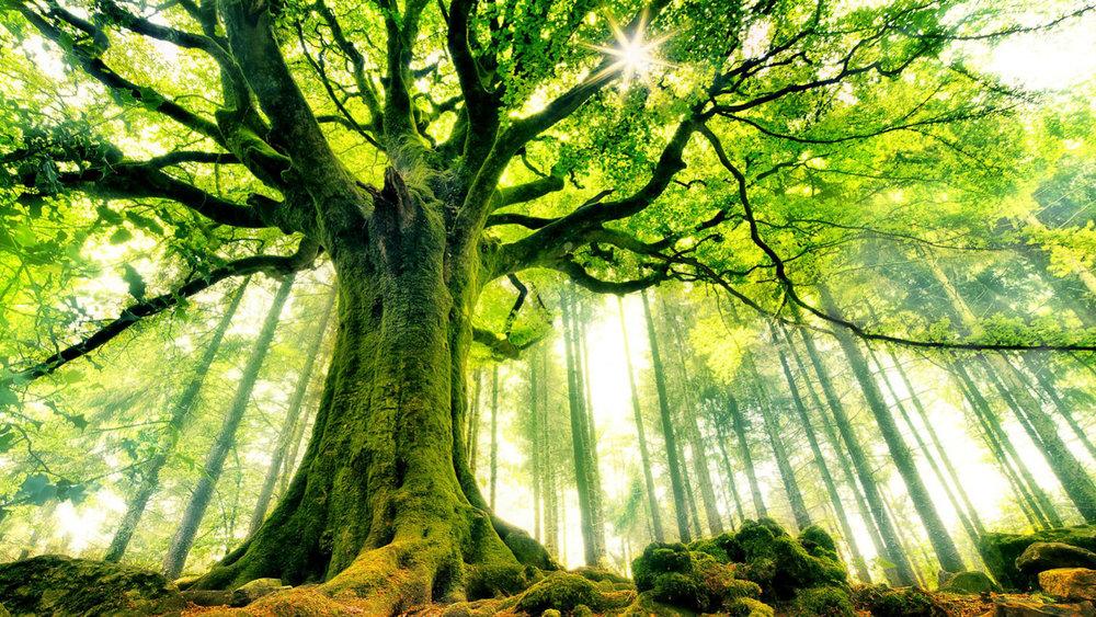 Ancient-Tree-HD-Wallpaper.jpg
