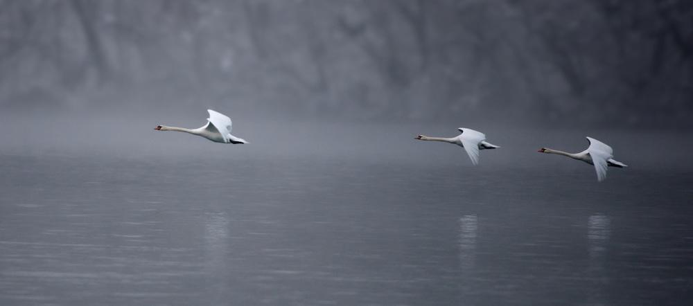 3-swans-wide.jpg