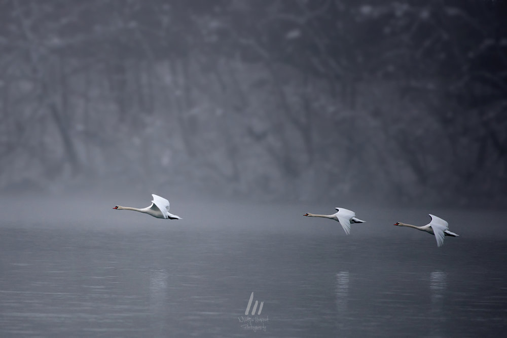 Three Swans by Matija Horvat