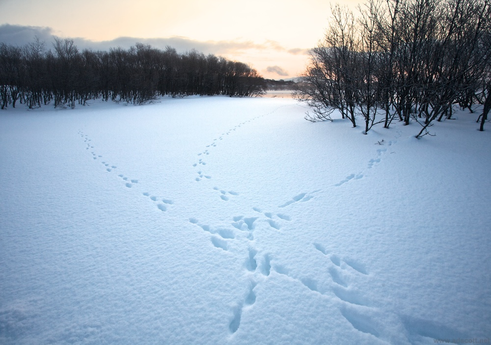 Hare tracks, Kamchatka.