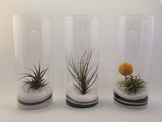 airplants in glass cylinder.jpg