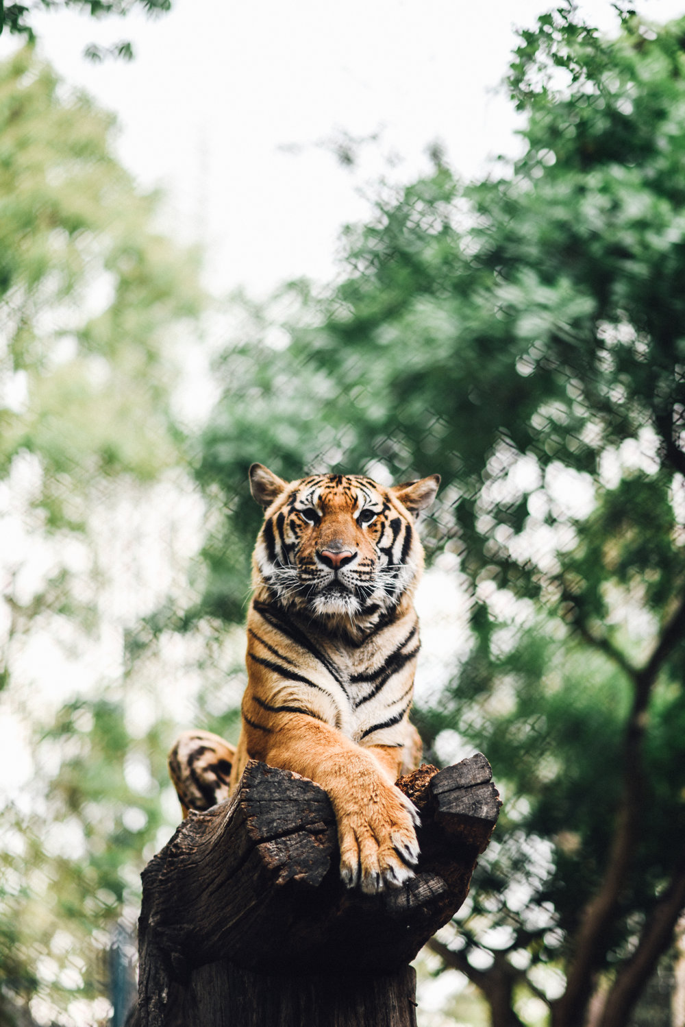 tiger-kingdom-thailand-2.jpg