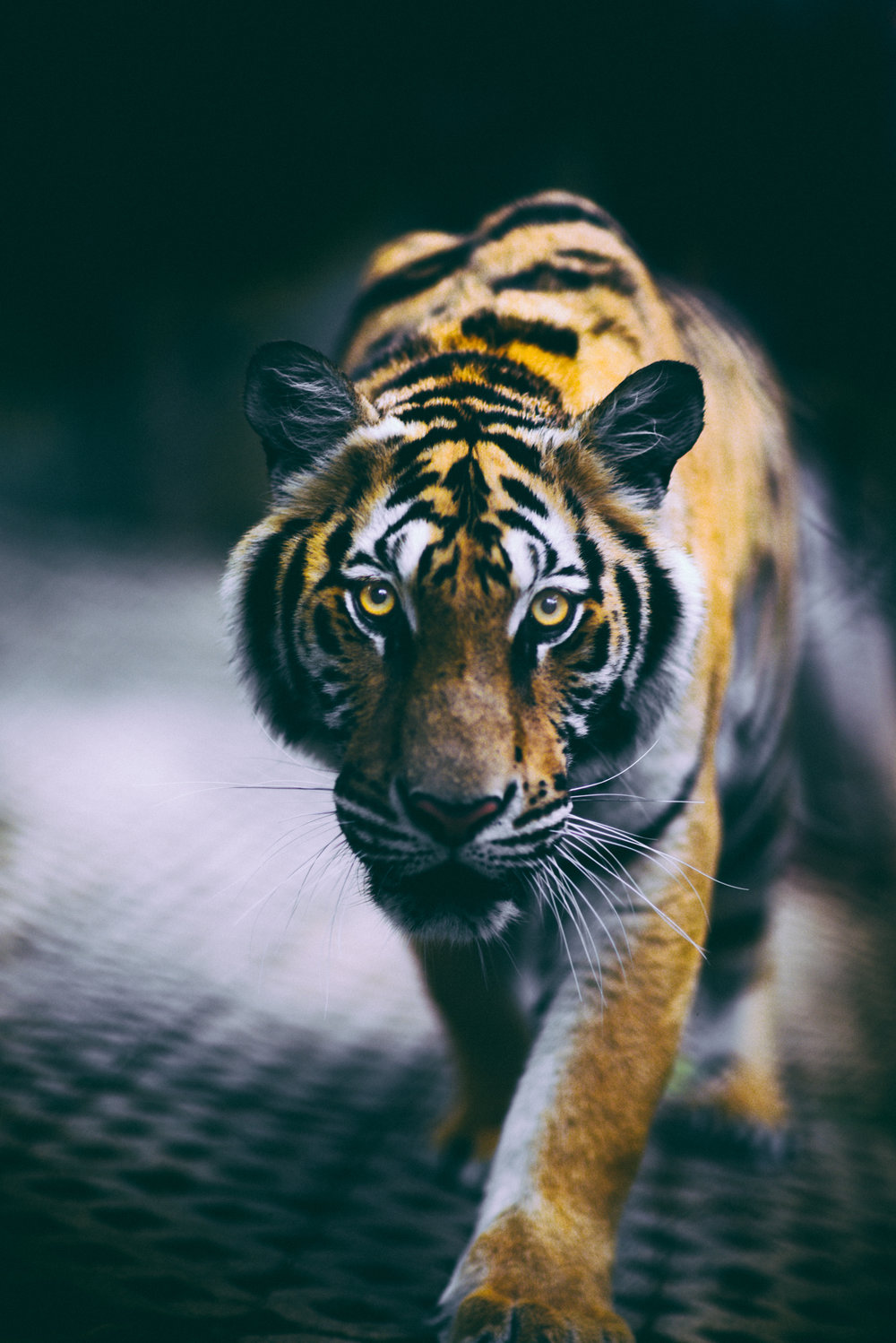 tiger-kingdom-thailand-3.jpg