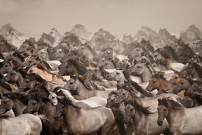 Dülmener Wildpferde.jpg