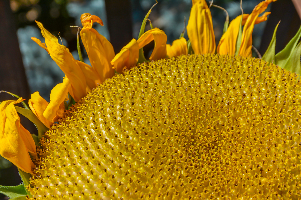 Sunflower harvest, Boise, Idaho