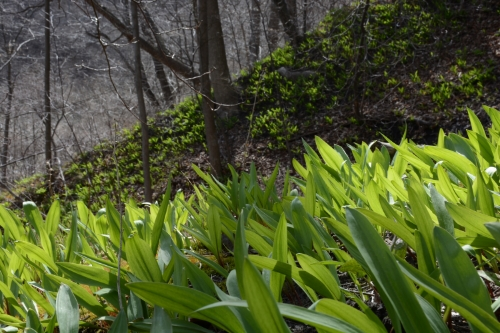 foraging for ramps