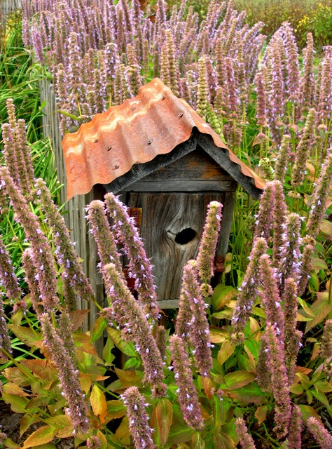 Anise hyssop and a bluebird house in an autumnal mode.