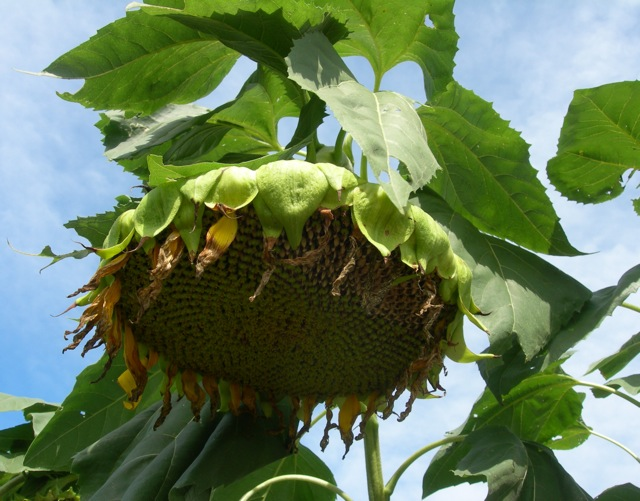The sunflowers hang their heavy heads.