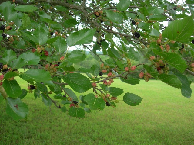 The mulberries are ripening quickly in the heat.