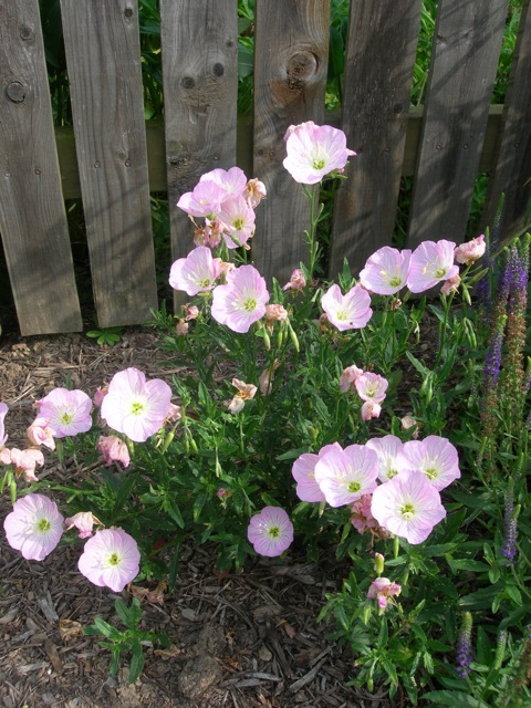 I love the delicate pink of the Evening Primrose.