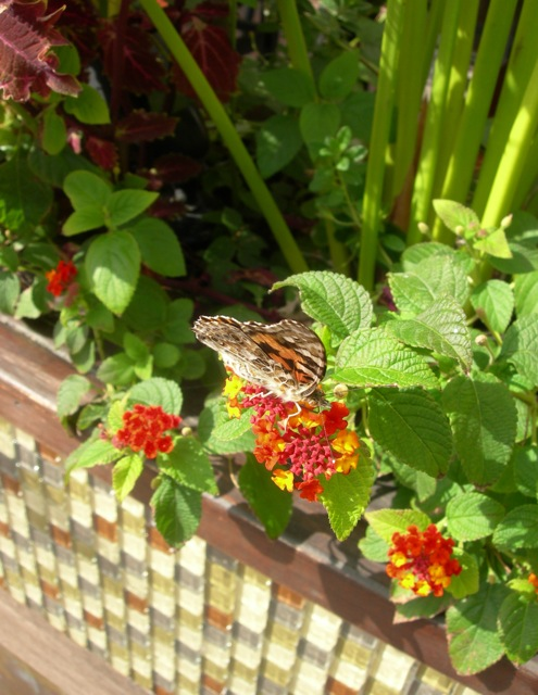 A Provincetown butterfly enjoying lunch.