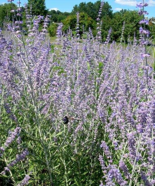 I love Russian Sage and so do these big bees!