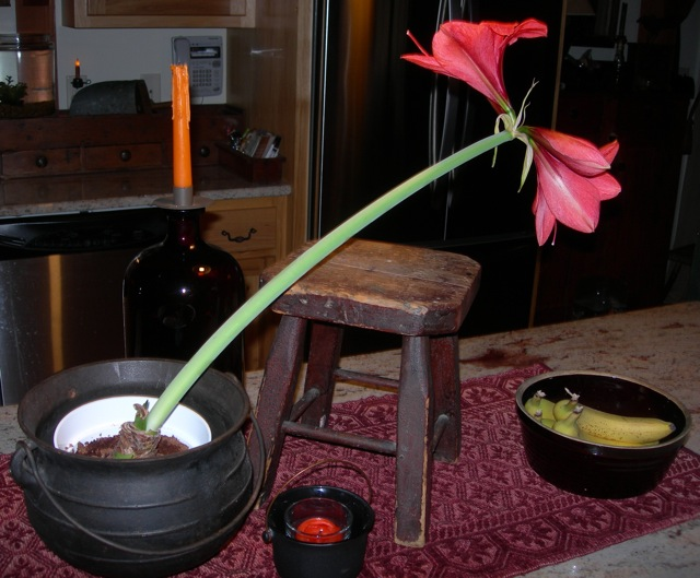 Heavy blooms of this slow-blooming amaryllis.