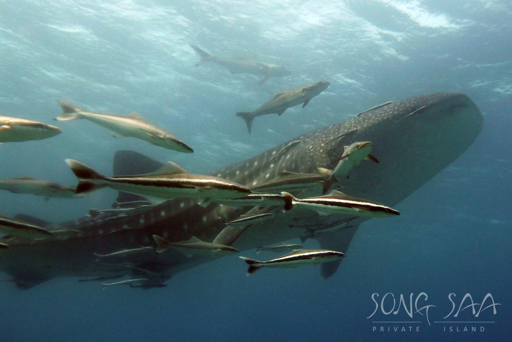 close-look-at-the-whaleshark.jpg